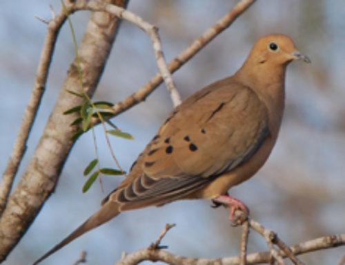 Doves of Houston