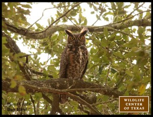 Parent great horned owl